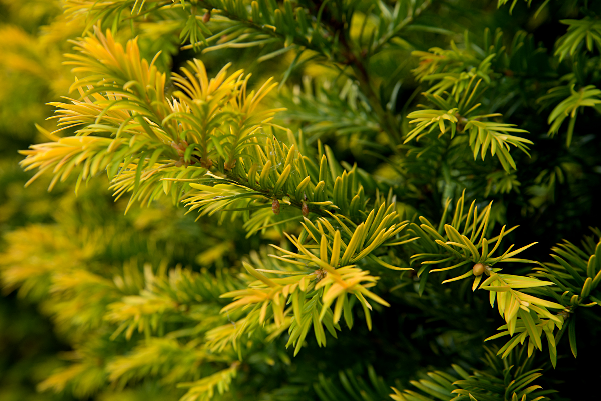 yew leaves
